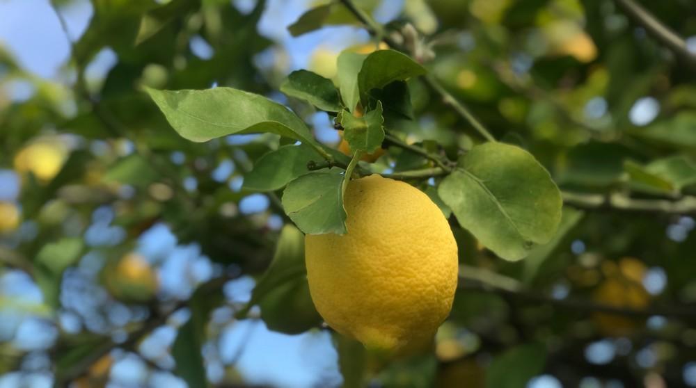 Sisiliassa sitruunamehun syntysijoilla